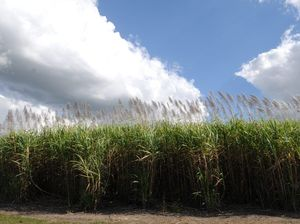 Valley sugarcane farmers stoked with Marcia's downpour