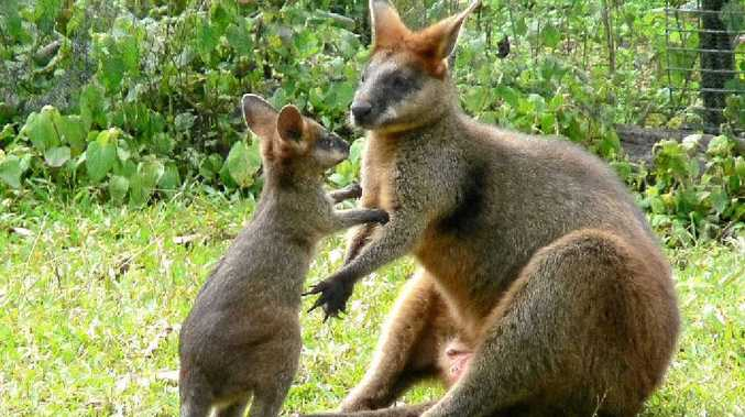 WILDLIFE: Swamp wallabies are among many creatures cared for on the Northern Rivers.