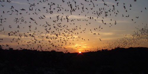 Bats in the Chihuahuan Desert.