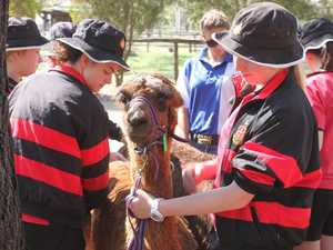 Alpaca shearing quite the experience for Rockhampton students