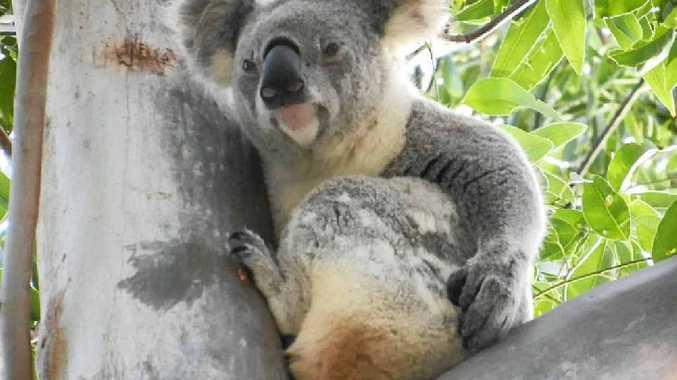 Be thoughtful when driving through koala territory