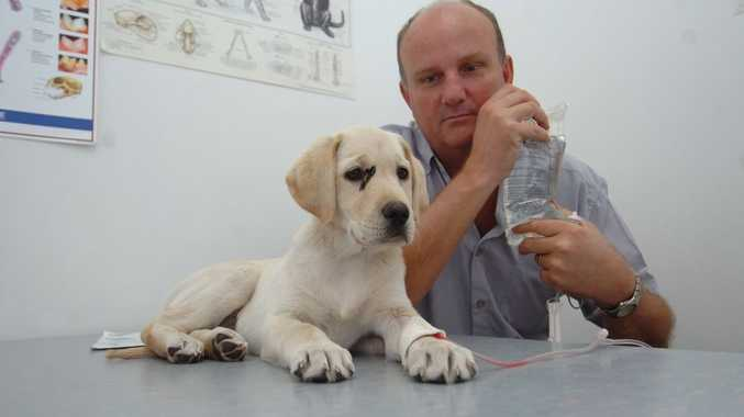 10-week old labrador Ziggy was treated by Hervey Bay vet Randal McLellan after she was poisoned by a paralysis tick.