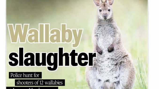 How the Northern Star covered the shooting of wallabies at Lennox Head, on August 23.