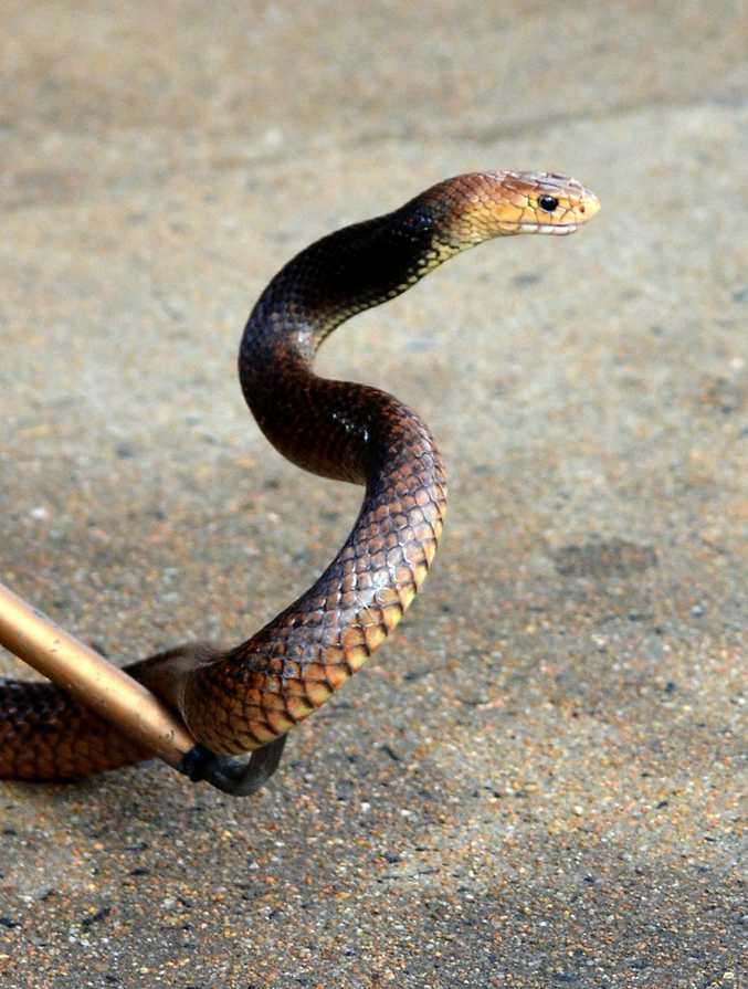 Snakes are posing an interesting challenge for the Wiggins Island Coal terminal construction team.