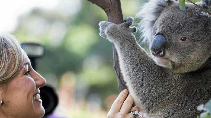 'Winston' the koala
