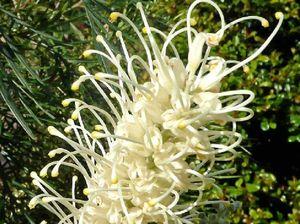 Grevilleas help make floral oasis