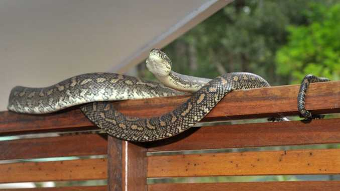 Coastal carpet pythons are the most common snakes seen in Tweed.