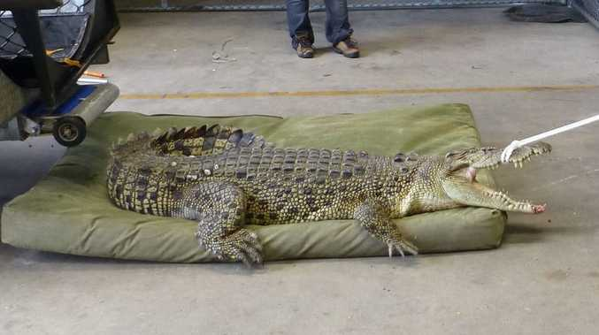 This crocodile was captured in Cairns this week.