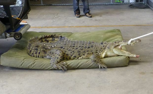 SEEING IS BELIEVING: Truckies reported seeing a croc near the Bruce Hwy during recent floods.