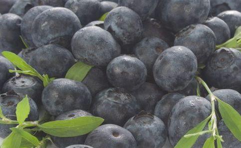 A single blueberry bush can produce 4-7kg of fruit in a season.