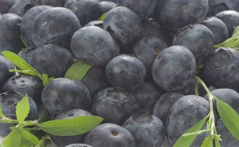 Blueberries are easy to grow   Northern Star