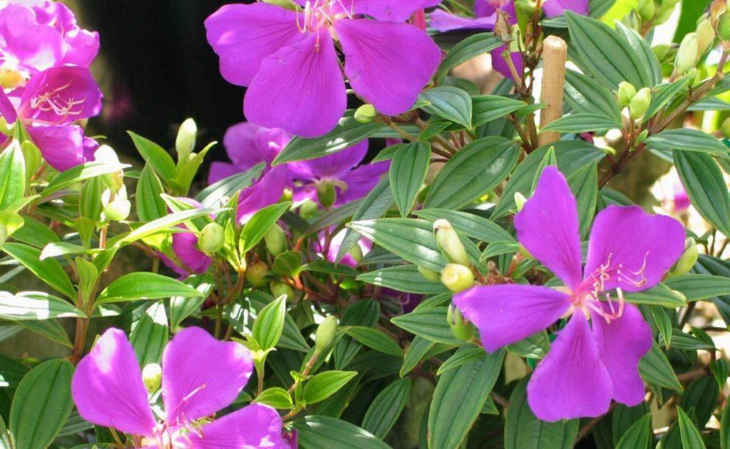 Tibouchina 'Little Beauty'