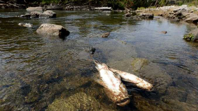 The department of heritage and environment are investigating the death of hundreds of fish in the Brisbane River at Lowood.