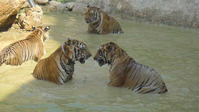 Tigers enjoy play time at the Tiger Temple, two hours from Bangkok in Thailand.
