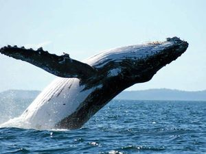 Humpbacks on our TV screens via 60 Minutes story