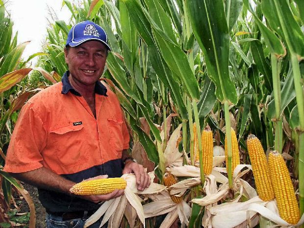 CORN CROP: Greg Taylor inspects some of the P55 corn grown on Bogaroo, south-west of Dalby, last season.