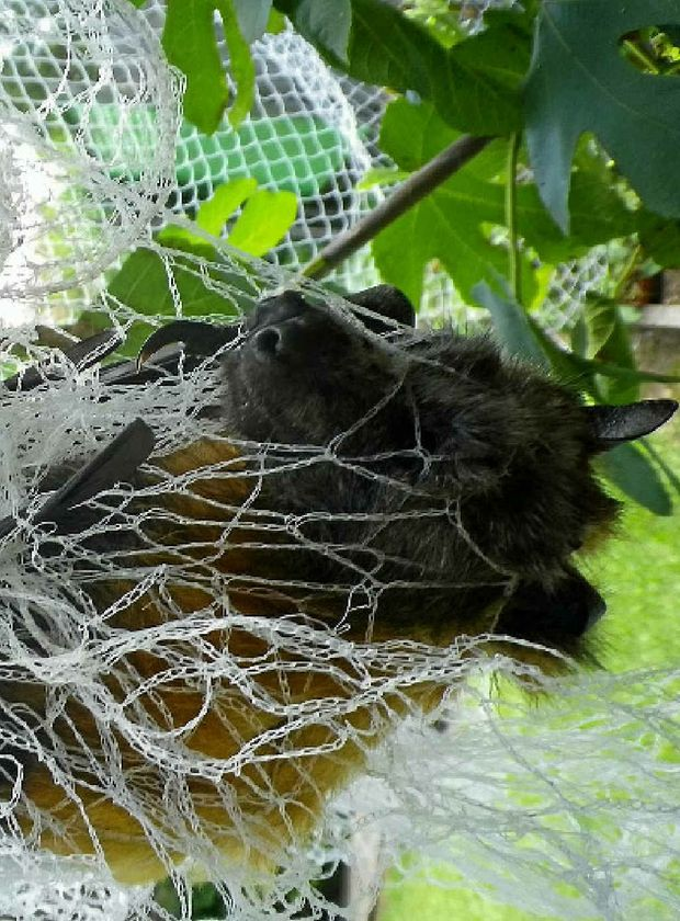 "OUTFOXED: A flying fox caught in netting over fruit trees. Lethal damage mitigation measures will be permitted as an ""absolute last resort""."