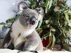 Kyogle to consider koalas