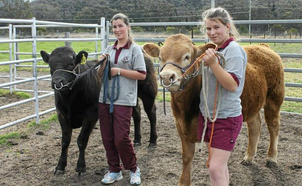CATTLE CLUB: Stanthorpe State High School Year 10 students and friends Amy Henderson and Shania Connolly, with black Limousin Gregory and Limousin Golden Wolf, share a love of cattle and are not afraid to get their hands dirty.