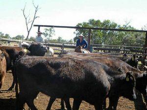 BEEFY TASK: Coastal Wagyu breeder Rodney Streeter and Ben Burston move Wagyu heifers into the pen.