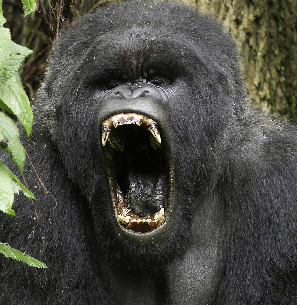 A silverback gorilla in Rwanda might look menacing, but in this case it was just a big yawn.