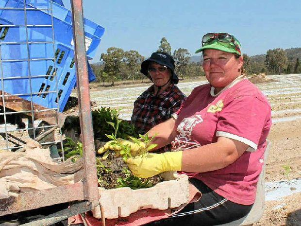 GREEN THUMBS: Sandra Keating and Margaret Burns planting capsicums.
