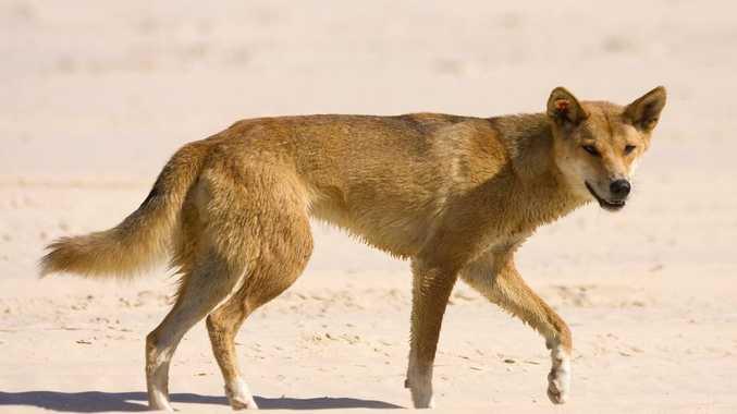 A dingo has attacked children on Fraser Island.