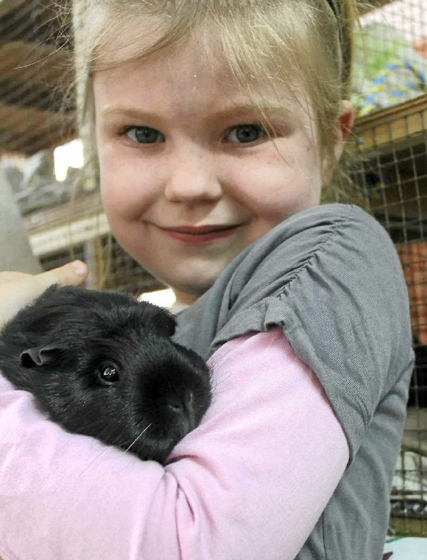 CUDDLY CAVY: Gemma Sipple, 7, with her guinea pig, Mary.