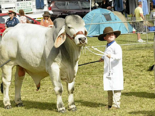SHOW FOR ALL AGES: Lane Sturdy presents a Brahman to judges at the Pioneer Valley Show which, along with the Sarina Show, has been given a boost by the Newman Government.
