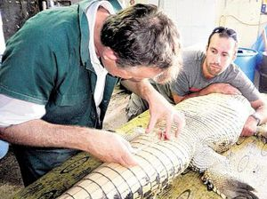 Artificial insemination keeps female crocs out of fray