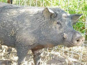 Pigging mates in broomstick brawl
