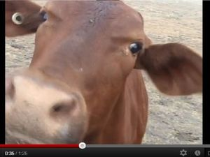 Is this Darling Downs cow the next big internet hit?