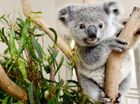 More koalas to be saved with new Qld Government funding