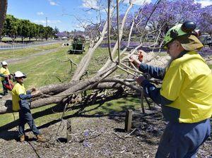 Jacaranda trees fall victim to windy weather