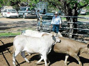 Grafton fat cattle market report