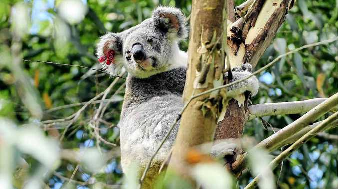 So long associated with the Sunshine Coast, the koala is clinging to existence in the region.