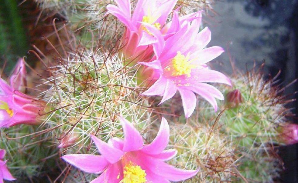 https://media.apnarm.net.au/media/images/2012/10/16/APN_cactusflowers_fct981x604x24_ct1880x930.JPG