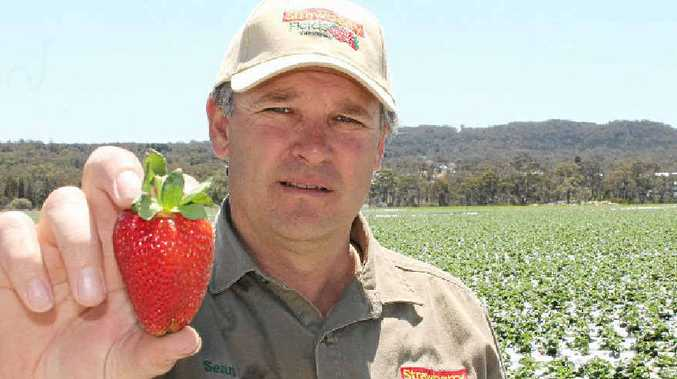 FINE FRUIT; Strawberry Fields manager Sean Riley has more than 700,000 strawberry plants growing at the Stanthorpe farm.