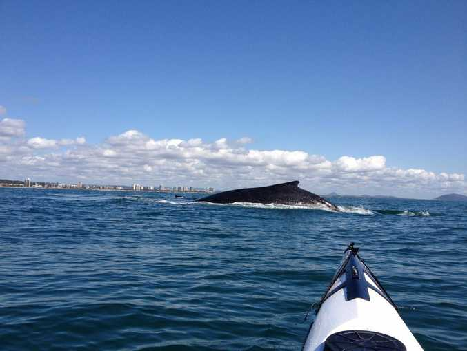 Mooloolaba kayaker Gary Forrest captured this photo of a humpback whale close up at the Mooloolaba rock wall.