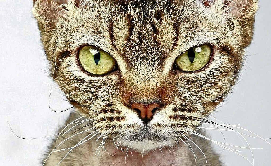 The unusual devon rex cat.