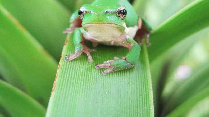OVERALL STUDENT WINNER: Danielle Olt - Baby Tree Frog. Photo: Contributed