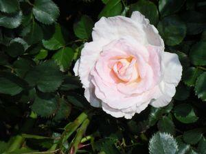 Pink bouqet rose.