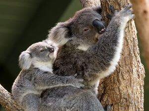 'Utter arrogance, total contempt': Koala group lashes out