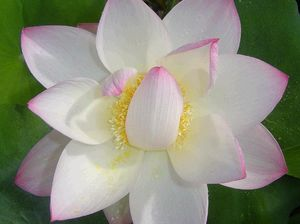 Lovely lotus flowers are exotic and easy to grow