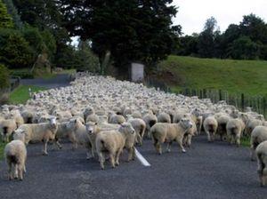 Motorists fleeced at Urunga as sheep block the highway