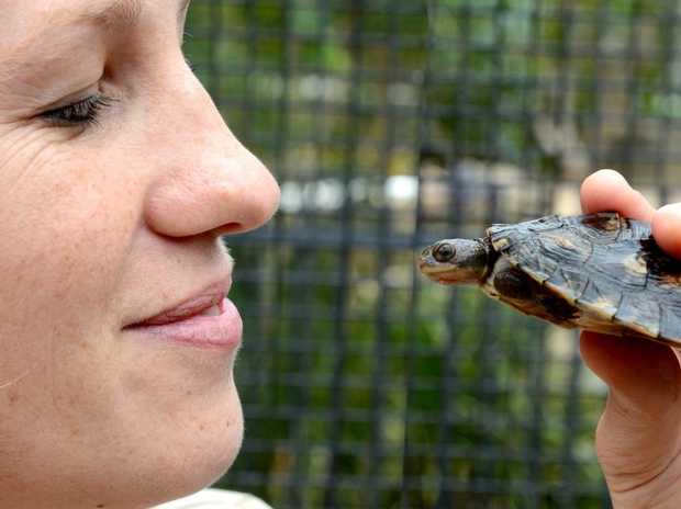 Travis the Mary river turtle with Saskia Lafebre at Currumbin wildlife sancturary hospital. Photo: John Gass / Daily News