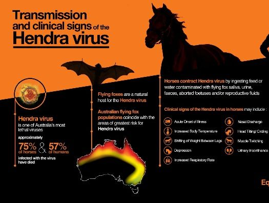 A chart showing the transmission and physical signs of the Hendra virus.