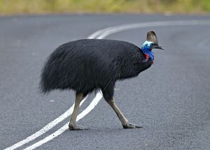 One of only about 1000 southern cassowaries remaining in the wild. The species is vulnerable to extinction, particularly with pressures brought on by development.