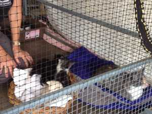 Some of the dumped kittens pictured at Animal Rights and Rescue's shelter after they were found in a sealed box in the carpark of the Lismore Square Shopping Centre.