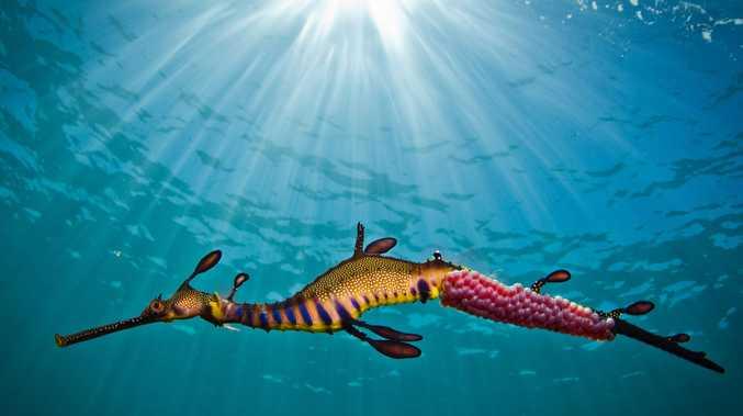 Richard Wylie's winning image, 'Weedy Seadragon in the Light'.